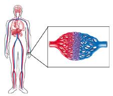 heart blood vessels